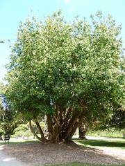 20130525_Powerscourt_DrimysWinteri_Cutler_P1470223 (wlcutler) Tags: winteraceae drimys drimyswinteri