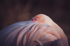 Sleeping Time (michel1276) Tags: flamingo vogel bird birds vögel animal tier phoenicopteridae sonya7iii