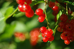 Juicy red (LB1415) Tags: summer june redcurrant ribes bokeh green leaves pentax k200d jpg sooc closeup red slovenia europe lb1415 allrightsreserved nature berries juicy fruit sunlight interesting ribez
