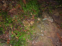 Megophrys ombrophila  #22 DSCN1239v3 (Kevin Messenger) Tags: amphibians frog fujian wuyishan megophrys ombrophila amphibia toad china kevin messenger hollis dahn new species guadun herpetology canon wildlife research nature