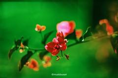 Rose Pink (mualdousari) Tags: riyadh saudi arabia