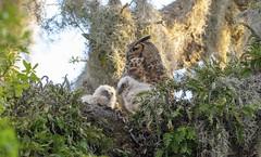 Great horned owl family (agnish.dey) Tags: animalplanet bird birding birdwatching birdsofprey greathornedowl owlet owl naturallight nature naturephotograph nikon naturethroughthelens coth d500 florida