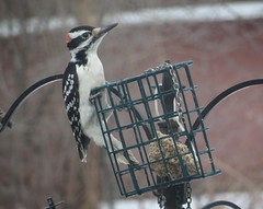Male Hairy Woodpecker IMG_0691 (Ted_Roger_Karson) Tags: birds bird feeder woodpecker redbellied back yard friends backyard northern illinois canon sx280 hs powershot miniature compact pocket camera male seed cake zoom animals suet telephoto thisisexcellent twop test photo hand held minicompact food bell downy hairywoodpecker