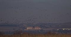 Nette rousse - IMB_6913 (6franc6) Tags: réserve scamandre février 2019 occitanie languedoc gard 30 petitecamargue hiver 6franc6 vélo kalkoff vae