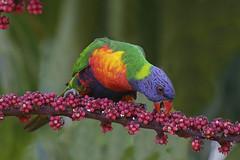 Rainbow Lorikeet (Alan Gutsell) Tags: rainbowlorikeet rainbow lorikeet parrot talking loud noisy common alan wildlife nature photo canon birds camera