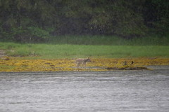 IMG_6934 (Forestplanet) Tags: great bear rainforest 2017