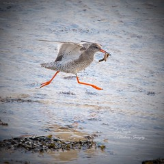 Lunch on the run! (Albatross Imagery) Tags: birdphotographer d500 nikond500 hampshirewildlife hampshire ukwildlife uk lunchrun followme nikkor nikonwildlife nikonphotography nikon photographer photo photography flickrphotography flickrwildlife flickr instagram wildanimals wildbirds beautiful running rspb naturereserve keyhavennaturereservelymington wildlifephotography wildlifephotographer wadingbirds wildlife birding bird birds redshank