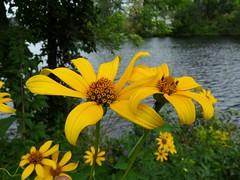 On the river's edge (jmunt) Tags: wildflower flower falsesunflower nature