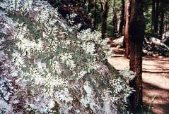 Dockrillia linguiformis, 1993 (NettyA) Tags: 1993 australia mtbarneycreek mtbarneynationalpark qld queensland bushwalking scannedprint scenicrim dockrillialinguiformis thumbnailorchid tongueorchid native orchid rock orchidaceae tickorchid