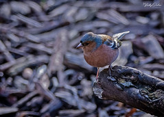 🇬🇧 Chaffinch (male) (vickyouten) Tags: chaffinch finch nature naturephotography wildlife britishwildlife wildlifephotography nikon nikond7200 nikonphotography sigma sigma150600mmc penningtonflash leigh uk vickyouten