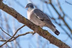 Pigeon colombin - 6936 (Luc TORRES) Tags: annecy auvergnerhônealpes columbidés columbiformes faune france hautesavoie lacdannecy nature oiseaux pays pigeoncolombin