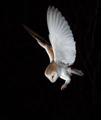 Barn Owl (KHR Images) Tags: barnowl barn owl tytoalba wild bird birdofprey hunting flying night nocturnal norfolk wildlife nature nikon d500 kevinrobson khrimages