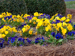 Patch Of Pansies. (dccradio) Tags: lumberton nc northcarolina robesoncounty outdoor outdoors outside shrub shrubs bush bushes flower flowers floral yellow violet purple pansy pansies pinestraw pinebedding greenery plant march spring springtime nature natural sunday sundaymorning morning goodmorning sony cybershot dscw830