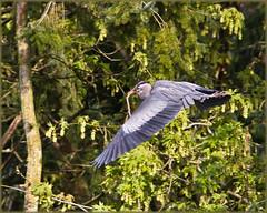 Blue Heron building nest (Sigi Deczki) Tags: