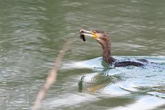 Grand cormoran - 5438 (Luc TORRES) Tags: auvergnerhônealpes etangdecromagny france hautesavoie pays saintfelix savoie wwwimagespassionfr étangdecrosagny fr grand cormoran