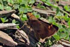 Umber skipper (TJ Gehling) Tags: insect lepidoptera butterfly hesperiidae skipper skipperbutterfly umberskipper poanes poanesmelane cerritocreek elcerritoplaza elcerrito albanyca