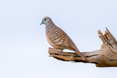 Peaceful Dove (Rustic Land Photo) Tags: peaceful dove bird pigeon wildlife branch perch perched high tree feathers wings beak nature animal blue green brown red shane miles rustic land photography