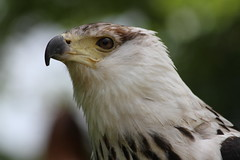 IMG_1484 (Stefan Kusinski) Tags: hemsley duncombe ncbp birdofprey
