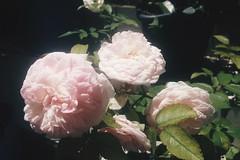 flores luminosas (primaveraepoeta) Tags: rose flowers spring shine