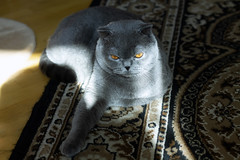 IMG_2768а (volodyainteres) Tags: feline eyes cute cat scottishfold fluffy domestic fold scottish animal portrait gray grey white little hair kitty mammal british purebred young breed funny background studio fur isolated small kitten looking pet pretty adorable beautiful