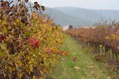 Vinya cap a Torrelles de Foix (esta_ahi) Tags: santmartísarroca vinya viña viñedo vineyard vitisvinifera penedès barcelona spain españa испания