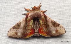 Silkworm Moth, Epia picta, Bombycidae (Ecuador Megadiverso) Tags: andreaskay apatelodidae bombycidae ecuador id563 moth silkwormmoth wildsumaco epiapicta