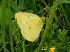 Clouded Sulphur (dieter1.freier1) Tags: cloudedsulphur bug insect wildlife outdoors butterfly greenery yellow blackspots summer meadow