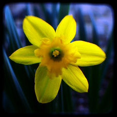 Signs of Spring (rustman) Tags: blur blurry bright closeup color colorful daffodil duaflex2 flower fuzzy istd kodak kodakduaflexii macro nature pentax saturated throughtheviewfinder texaslife tiny ttv vivid yellow