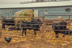 Animals on a Hobby Farm in rural Eastern South Dakota (JacobBoomsma) Tags: south dakota eastern farm yard agricultural fall autumn animals rural cloudy overcast small hobby