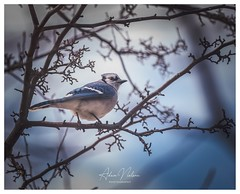 DSC_0210-1-3 (PhotoByNelson) Tags: nikon niagara nature ontario canada birds bluejay