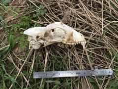 Raccoon Skull - 2 (Mikael Behrens) Tags: mikaelbehrens wildlife mammal nallebunnyrunwalk nallebunnyrun austin trackorsign nallebunnyrungroupwalk texas unitedstatesofamerica us
