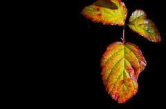 SANT MARTÍ DE LLÉMENA - FULLAS (Joan Biarnés) Tags: santmartídellémena gironès 299 panasonicfz1000 macro fullas hojas