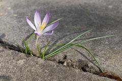 Solitary Crocus (velodenz) Tags: velodenz fujifilmx100f flower crocus bloom blum fleur nature patio slab purple banes bnes united kingdom uk england great britain gb views 2000 2000views
