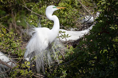 In the mood (tspine) Tags: gatorland greategret