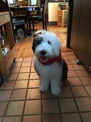 Wookie Jr (Dani Boy Boy Dani) Tags: chien dog berger anglais english sheep bobtail