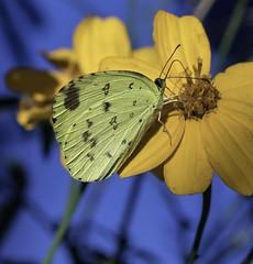 Common Grass Yellow (gecko47) Tags: insect butterfly lepidoptera yellow pieridae commongrassyellow euremahecabe bribieisland display captivebreeding charity bongaree macro bribieislandbutterflyhouse