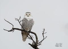 Snowy Owl (Jamie Lenh Photography) Tags: nature wildlife birds owls snowyowl nikon tamron winter ontario canada jamielenh