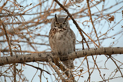 March 10, 2019 - A watchful great horned owl. (Tony's Takes)
