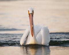 Hello - White Pelican After Landing (dcstep) Tags: pelican feeding americanwhitepelican cherrycreekstatepark cherrycreekreservoir water lake reservoir bird sonya9 handheld fe400mmf28gmoss fe20xteleconverter allrightsreserved copyright2019davidcstephens dxophotolab220 dxoprimenoisereduction dsc8924dxo