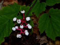 White Baneberry Berries (jmunt) Tags: whitebaneberry berries wildflower nature nativewildflower