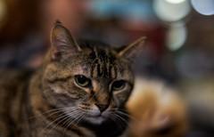 "Lucy (Light Echoes) Tags: sony a7ii 50mm f11 slrmagic50mmcinef11 2019 spring march cat chat kot gatto feline pet katze kat kalo котка gato gate gat animal 고양이 γάτα kočka 貓 القط kass kissa חתול बिल्ली miv macska kucing 猫 vighro kaķis katė qattus katten گربه pisica кошка mačka katt แมว kedi кішка بلی mèo cath rescue shorthairdomestic tabby lucindamtoffeenose lucy ""sonyflickraward"