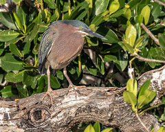 Little Green Heron (dbadair) Tags: outdoo nature wildlife 7dm2 ef100400mm ocean canon florida bird