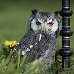 Uiltje (Bram Meijer) Tags: uil owl square vierkant vogels birdsofprey settelsroofvogels