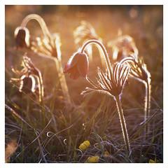 * (fylepphoto) Tags: hasselblad hassy analog film filmisnotdead analogue provia100f provia100 fuji slidefilm mediumformat 120film 120roll flower