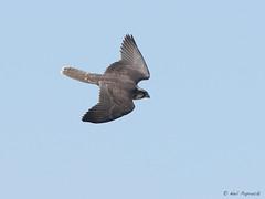 Lanner Falcon (npaprock) Tags: falcobiarmicus falco falcon lannerfalcon afar ethiopia africa yangudirassanp yangudirassa