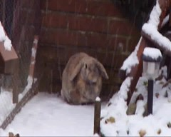 Snow binkies! (eveliensbunnypics) Tags: bunny rabbit lop lopeared polly winter snow snowing outdoor outside backyard patio playing running hopping binky binkies binkying happy funny video