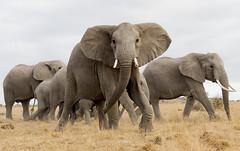 _A130112 (BergsPix) Tags: elephants africa kenya safari amboseli masaai mara samburu tusks mammals