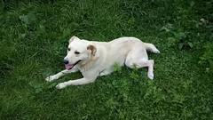 White dog, half Labrador (avvinsk) Tags: white dog half labrador january 16 2019 1000pm avvi ko