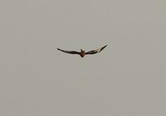 IMG_5270 (monika.carrie) Tags: redkite monikacarrie wildlife scotland aberdeenshire royaldeeside