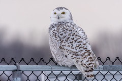 Harfang des neiges (Snowy owl) uncropped (miro_mtl) Tags: attente buboscandiacus d7200 harfangdesneiges hibou michelrochon montreal nikon nikond7200 outdoors snowyowl stbruno sthubert tamron tamronsp150600mm ailes america amerique animals bird birdofprey blanc bluesky canada chasse chasseur ciel feathers hiver hunter hunting light monteregie morninglight nature oiseau oiseaudeproie owl patience plumage quebec raptor sky snow waiting wildlife winter
